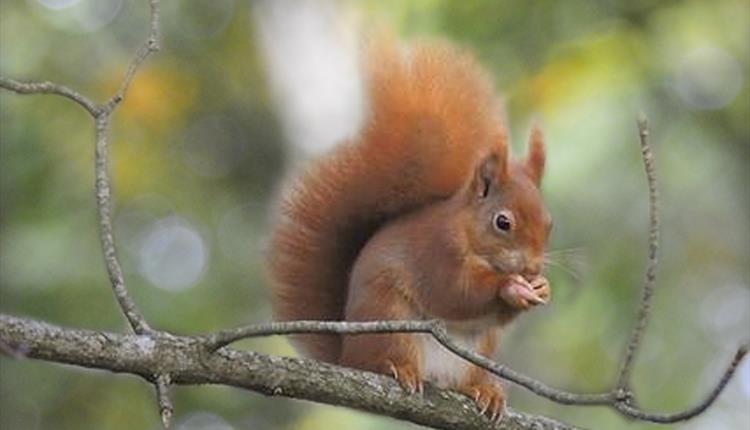 Red Squirrel Walk