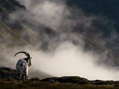 The Willd Welsh Mountain Goats of Dinorwig